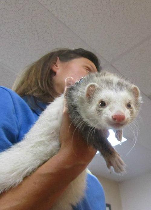 Teacher holding a ferret